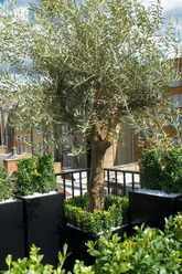 Olivetree.roof.terrace