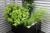 Pittosporum.Grass.in.planters
