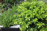 Pittosporum.Lavender.in.planters
