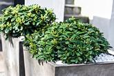 Pittosporum.in.concrete.planters